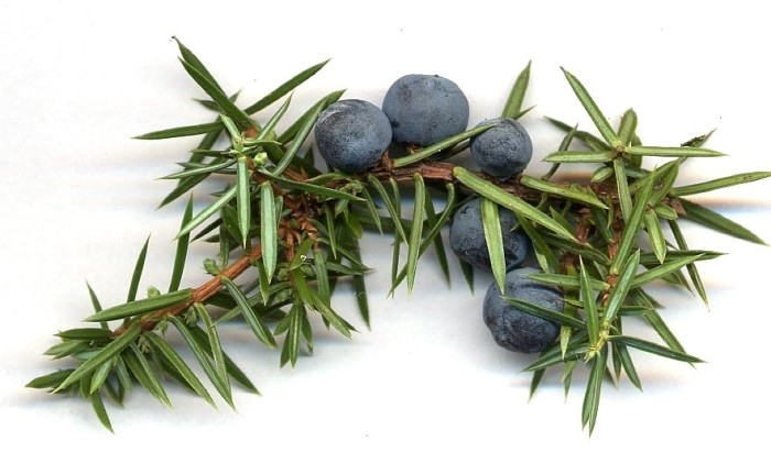 Juniperus_communis_cones
